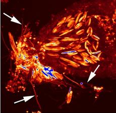 Nesselkapseln angefärbt mit Ageladine A