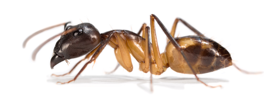 die evolutionsgeschichte der wespen bienen und ameisen erstmals entschl sselt zfmk. Black Bedroom Furniture Sets. Home Design Ideas