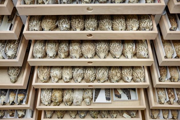 Ornithologische Sammlung ZFMK