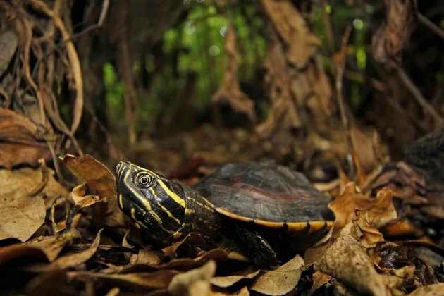 Exemplar der östlich verbreiteten Art Malayemys subtrijuga vom Tonlé Sap See, Zentral Kambodscha
