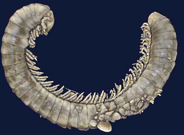Ein Mikro-CT-Scan eines 100 Mio. Jahre alten Tausendfüßers. Die Tiere lassen sich digital in 3D aus den Steinen herauslösen und von allen Seiten und nterschiedlichen Winkeln betrachten.