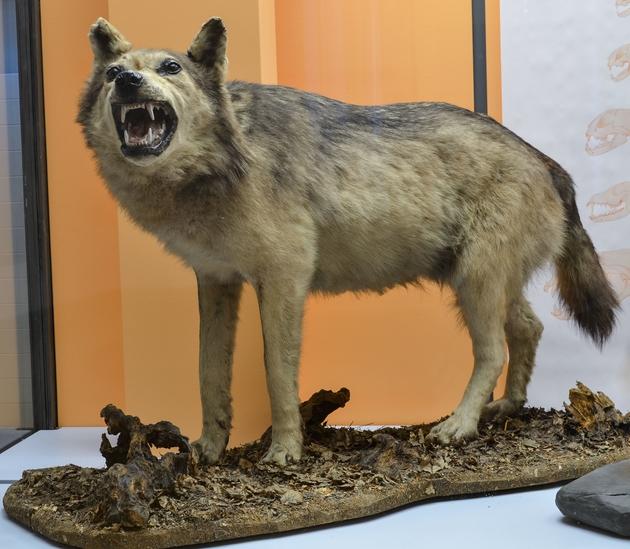 Der Eifelwolf im Museum Koenig.