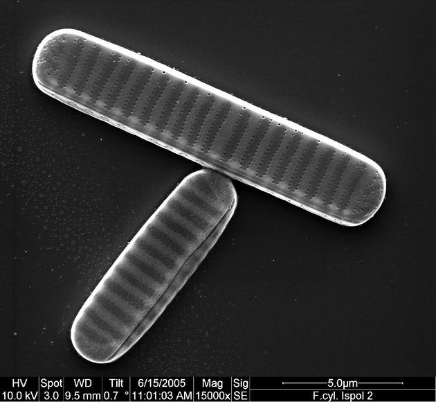 Fragillariopsis cylindrus. Rasterelektronenmikroskopische Aufnahme von Gerhard S. Dieckmann.
