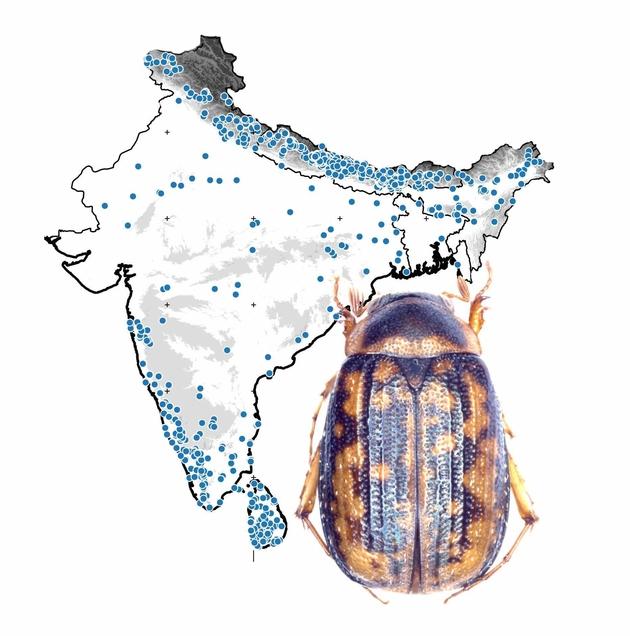 """Titelbild der Monographie: Der """"Mini-Maikäfer"""" Neoserica fusiforceps Ahrens & Fabrizi, 2016, vor einer Karte mit den Fundpunkten des im Rahmen der Indien-Fauna ausgewerteten Käfer-Materials (© ZFMK 2016)"""