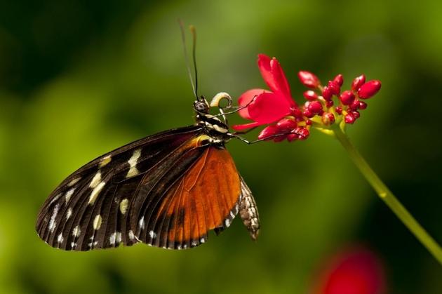 Heliconius hecale saugt mit dem Nektarrüssel an einer Blüte.