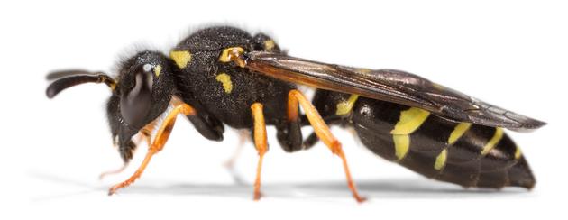 Odynerus spinipes (Weibchen)