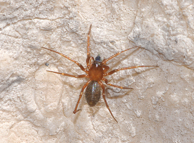 Die Baldachinspinne Oreonetides glacialis (KOCH, 1872) entpuppte sich als die häufigste Art auf einer kargen Karsthochebene der Zugspitze