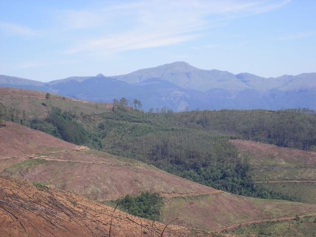 """Kahlschlag auf einer mit fremdländischen Bäumen forstwirtschaftlich genutzten Fläche. Diese Flächen werden nach der """"Ernte"""" generell abgebrannt, da die Plantagenreste kaum durch die einheimischen Totholzorganismen zersetzt werden und die Brandgefahr in neuen Anpflanzungen extrem erhöhen."""