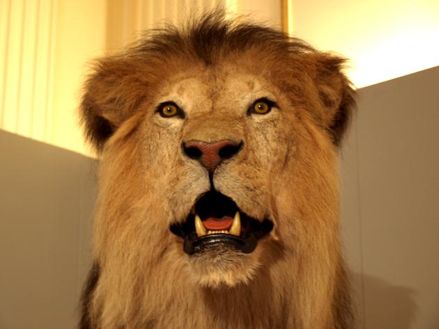 Präparat aufgestellter Löwe
