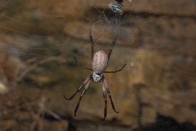 Australische Seidenproduzentin unter den Spinnen: Nephila edulis