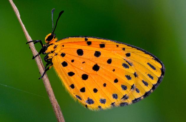 Der Bläuling Pentila pauli besticht durch seine Schönheit.