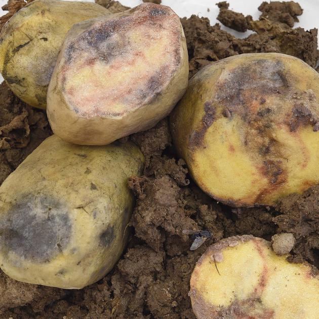 -Von Kartoffelfäule befallene Kartoffeln (Modell): DNA-Analysen historischer Herbarbelege entlarven heute noch Krankheitserreger; Senckenberg Naturmuseum, Frankfurt (Main).