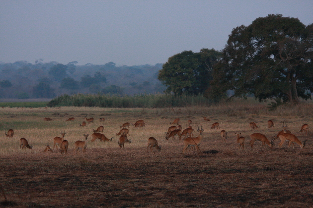 Blick auf grasende Puku-Antilopen