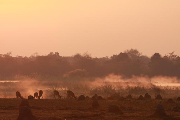 Puku-Herde im aufsteigenden Dunst