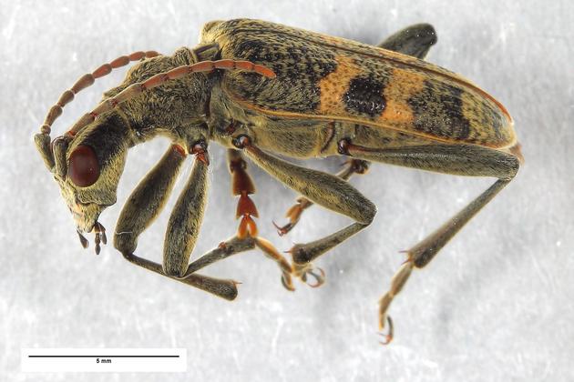 Abb. 1: Der Schwarzfleckige Zangenbock Rhagium mordax (DEGEER, 1775) – einer der 13516 Käfer aus dieser Studie.[ZFMK-TIS-2002402]