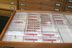 Insect drawer from Hymenoptera collection