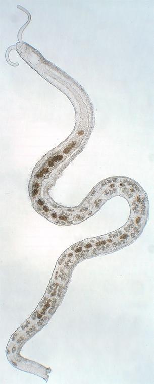 Ringelwurm der Gattung Protodrilus, welche normalerweise im interstitiellen System leben