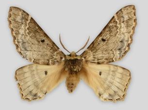 Eines der raren Museumsexemplare von Pseudobiston pinratanai befindet sich in der Schmetterlingssammlung des Staatlichen Museums für Naturkunde Stuttgart. Urhebervermerk: SMNS