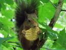 Eichhörnchen mit Keks, 1. Preis (Kat. unter 18 J), Lena Weiß (c) zfmk